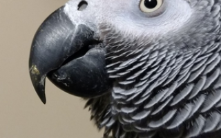 Попугай еле дышит