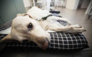 У собаки задние ноги болят ростов