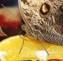 Чем можно покормить бабочку дома