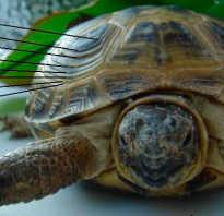 Как определить сколько лет черепахе