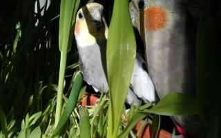 Попугай корелла самка