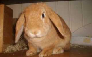 Вислоухие пушистые кролики