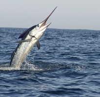 Клинок рыба википедия