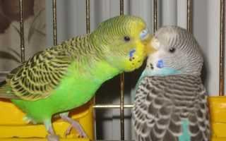 Брачное поведение у попугаев