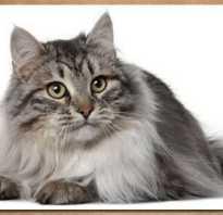 Домашняя сибирская кошка
