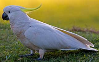 Где купить попугая какаду