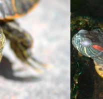Черепаха впадает в спячку что делать