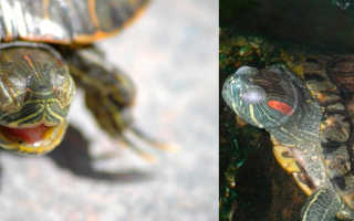 Черепаха впала в спячку признаки