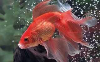 Виды золотых рыбок названия