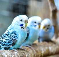 Волнистые попугаи умеют разговаривать