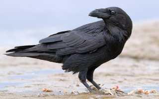 Сколько может жить ворона