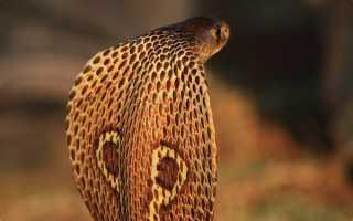 Тропическая ядовитая змея