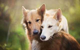 При спаривании собаки слиплись