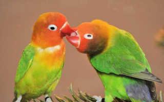 Сколько стоят попугаи неразлучники