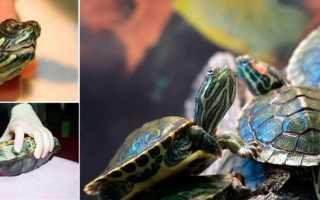 Красноухая черепаха заболела