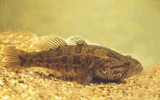 Рыба ротан происхождение