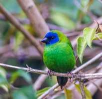 Трехцветная попугайная амадина