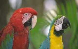 Купить попугая корелла в самаре