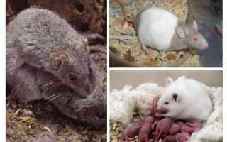 Беременность у мышей длится