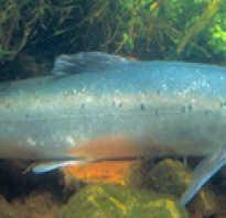 Сёмга это какая рыба