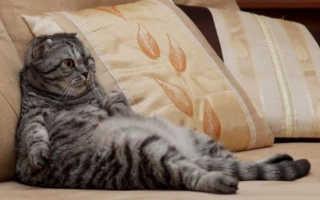 Стерилизация сиамских кошек