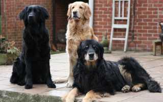 Ховаварт порода собак