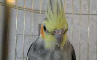 Как узнать сколько лет попугаю корелла