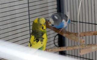 Созревание волнистых попугаев