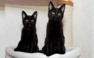Черный кот с фиолетовыми глазами