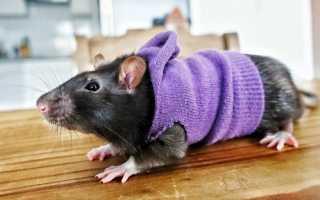 Как увеличить жизнь крысам