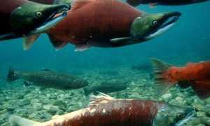 Рейтинг лососевых рыб по ценности