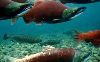 Как отличить лососевых рыб