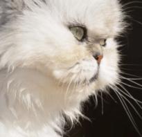 Как назвать персидскую кошку