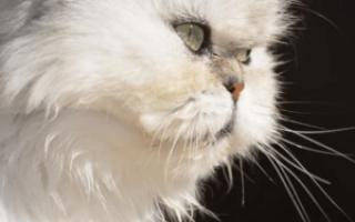 Имена для персидских кошек девочек