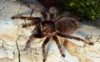 Субстрат для паука птицееда