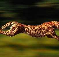 Длина прыжка гепарда