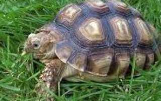 Черепаха среда обитания