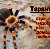 Паук похожий на тарантула