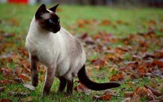 Картинки сиамских кошек
