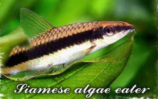 Сиамский водорослеед чем кормить
