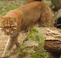 Азиатская кошка темминка