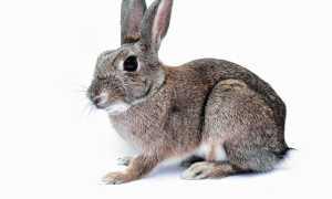 Гипоаллергенные кролики породы