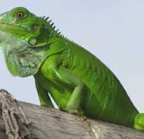 Игуана зеленая обыкновенная