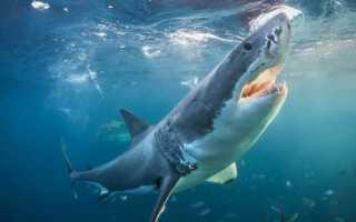 Акула характеристика рыбы