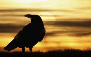 Сколько живет ворон 300 лет