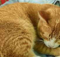 Характер рыжего кота