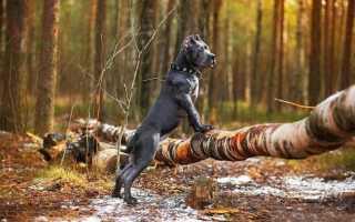 Список бойцовских пород собак в россии