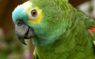 Почему волнистый попугай трясет головой
