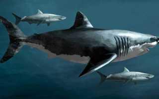 Акула мегалодон описание