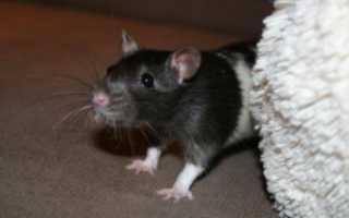Декоративная голубая крыса